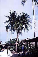 三又の椰子