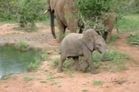 小さな子象