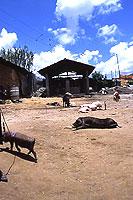 売り物の家畜たち
