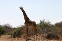 ケニアで出会ったキリン
