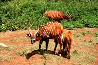 ケニア国立公園で出会った珍しい動物~ボンゴ