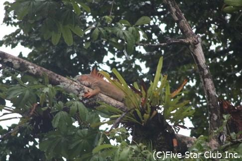 木の上で休むイグアナ(トルトゥゲーロ)
