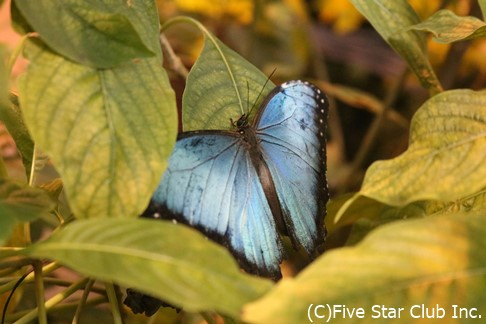 モルフォ蝶の仲間(サンホセ)