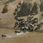 感動!ヌーの川渡り<マサイマラ動物保護区/ケニア>