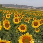 アンダルシアのひまわり畑で夏を満喫!情熱の国スペインで世界遺産と絶景めぐり